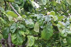 Cydonia oblonga-12 (The Tree Library (TreeLib.ca)) Tags: cydonaoblonga quince