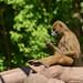 Guinea-Pavian im Tiergarten Nürnberg