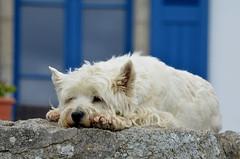 Zen attitude (HervelineG) Tags: chien dog surunmur bleu blue cool zen d7000 explore