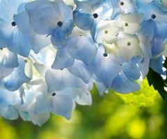 Hydrangea あじさい (Kenih8) Tags: hydrangea あじさい flowers olympus pen epl7