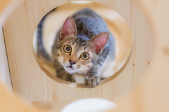 My Furry Companion 稚子無憂走風雨 (Sharleen Chao) Tags: indoor canon taiwan taipei 100mm 5dmarkiii domesticcat feline 黑虎斑