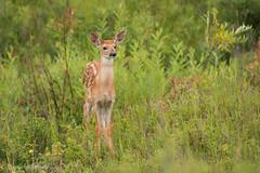 White-tailed Deer, fawn (stephaniepluscht) Tags: montana 2016 white tail tailed whitetail whitetailed deer glacier national park polebridge fawn