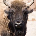 European bison thumbnail