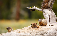 Marmot family (scepdoll) Tags: pilgrimcreekroad grandtetonnationalpark wyoming marmots wildlife findyourpark