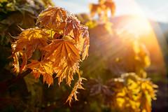 Cold morning of a hot day (Petr Horak) Tags: arboriculture sap tree broadleafandhardwood maple acer aceraceae foliage variegated sun gardening garden flare flora x100f novýknín středočeskýkraj czechia cze