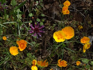 Tufted Poppy--Eschscholzia caespitosa