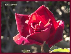 Almería 20 rosa (ferlomu) Tags: almeria andalucia ferlomu flor flower rosa
