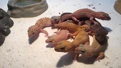 Gecko pile! (jonhollister) Tags: restinpeace rip geckopile cute macksnowstripedraptor superhypomelanistic hypomelanistic blizzard albinomacksupersnow tremperalbino eublepharismacularius leopardgeckos leopardgecko geckos gecko reptiles reptile pets