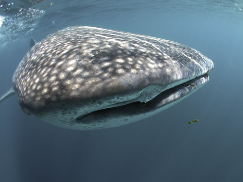031-_Whale_Shark_-_A._Wackenrohr
