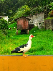 Donald Duck (ekelly80) Tags: azores portugal sãomiguel may2017 furnas pocadadonabeija duck bird combover funnyduck yellow donaldduck trump