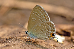 Catochrysops strabo - the Forget-me-not (BugsAlive) Tags: butterfly mariposa papillon farfalla schmetterling бабочка conbướm ผีเสื้อ animal outdoor insects insect lepidoptera macro nature lycaenidae catochrysopsstrabo forgetmenot polyommatinae wildlife doisutheppuinp chiangmai liveinsects thailand thailandbutterflies ผีเสื้อฟ้าดอกถั่วธรรมดา