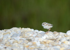 Piping Plover chick (jayrand1975) Tags: beach birds bird pipingploverchick chick plover pipingplover