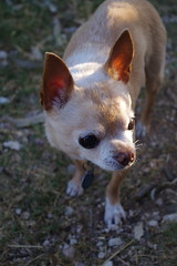 handsome old Chihuahua (EllenJo) Tags: pentaxk1 may28 2017 ellenjo home floyd chihuahuadig dog bornin2003