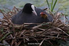 _H2A0003.jpg (AMPMartins) Tags: aves avesportugal galeirãocomum