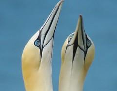 Courting Gannets at RSPB Bempton cliffs (donnasmith13) Tags: birds seabirds sea cliffs mating courtship largebirds bluesky wildlife