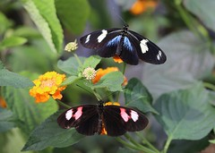 All wings bright and beautiful...HWW (Kez West) Tags: wings butterflies stratford butterflyfarm two insects hww wingwednesday colourful dorislongwing