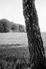 (salparadise666) Tags: moskva 2 industar 23 110mm fomapan 100 caffenol rs 15min nils volkmer kmz vintage camera folder folding 6x9 medium format landscape nature bw black white monochrome tree detail f8 150 diagonal hannover region calenberger land niedersachsen germany zeiss ikon super ikonta