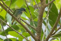 Shining Honeycreeper (female) (J.B. Churchill) Tags: birds costarica heredia laselvaotsreserve places shho shininghoneycreeper tanagershoneycreepers taxonomy cr laselva