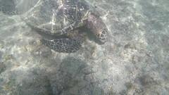 Fernando de Noronha - Brasil (Cleu Corbani) Tags: tortuga mar naturaleza brasil noronha agua animales placer paz lugares videos videosdeanimales