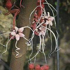 This Malvaceae has astounding festive flowers on its trunk near the ground! (jungle mama) Tags: malvaceae festive ribbons herrania flowersintrunk fairchildtropicalbotanicgarden fairchildgarden windowstothetropics herraniabalaensis cauliflory