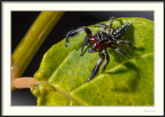 Araña saltadora - Jumping spider (J. Amorin) Tags: arañas fauna insectos arañasaltadora arañasaltarina jumpingspider amaorin macro spider