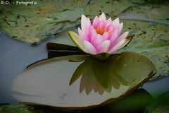 Seerose / Water Lily (R.O. - Fotografie) Tags: wasserrose seerose water lily wasser pond see lake spiegelung reflektion natur nature panasonic lumix dmcfz1000 dmc fz1000 fz 1000 rofotografie teich tümpel brakel close up closeup