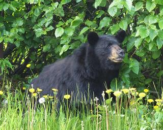 Black Bears Love Dandelions!