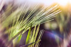 Abstract plant (Monika Žukauskytė) Tags: abstract plant grain lensflare colourful colors sunset