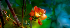 Greeting with Sunset (G.LAI) Tags: forgetmenot blue flora purple pink beauty 勿忘我 5d canon nature spring macro flower begonia red ed explore 海棠 春海棠 红色 color painting classicaldigital art photo images poem poet poetic romance flickr show plant