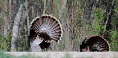Exit Stage Rear -- Wild Turkeys (Meleagris gallopavo); Bosque del Apache NWR, New Mexico (deserttoad) Tags: nature newmexico animal bird fauna wildbird turkey preserve refuge behavior
