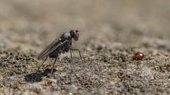 Waffenfliege und Kugelspringer (Oerliuschi) Tags: tier animal insekt insect schärfentiefe heliconfocus naturlicht lumixgx8 olympusm60 kugelspringer fliege milbe