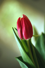 Tulip (Julia_Kul) Tags: flower tulip one drops odd single red water nature isolated plant floral blossom background spring beauty out pink dew season nobody outdoors closeup beautiful green color decoration natural holiday petals bulb blooming bloom vertical tulips macro photography photo backgrounds gardening garden flora flowers pretty love cards greetings leaf