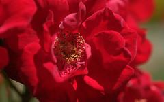 rouge (christophe.laigle) Tags: rose rouge fleur macro xf60mm nature flower fuji xpro2 red christophelaigle ngc npc