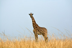 Lonely giraffe in the savannah (supersky77) Tags: giraffa giraffe girafa chamaleopardis murchisonfallsnationalpark savana savannah africa uganda