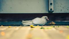 Paloma herida (Lara Santaella) Tags: pigeon paloma wounded injured herida busstop paradadeautobús panoramic