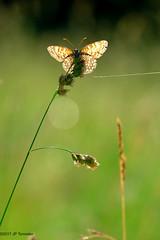 Cerf volant (jpto_55) Tags: papillon mélitée matin prairie proxi bokeh fuji fujifilm fujixf55200mmf3548rlmois tarn france