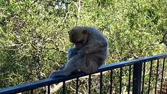 09/96 15-05-2017 Gibraltar (Mark Hewson) Tags: spurbatteryroad gibraltar barbaryape monkey barbarymacaque