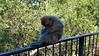09/96 15-05-2017 Gibraltar (Mark Hewson) Tags: spurbatteryroad gibraltar barbaryape monkey barbarymacaque
