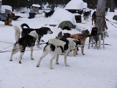 The team (lmundy2002) Tags: dogs dogsled dogsledding huskies sleds whitefish olney whitefishmt olneymt montana mt winter wintersports