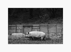 Happiness (bnishimoto) Tags: ranchosanantonio deerhollowfarm bayarea fujifilm fuji xpro2 acros 23mm bw monochrome pig farmanimal explore