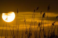 DSC_0346 (Adrian Mitu) Tags: sunset sun clouds sky nature scenic tranquil adrianmitu sony nikon mood atmospheric travel discover delta dunarii danube romania yellow bullrush stuf