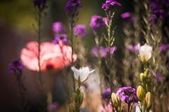 Garden Dreams (ursulamller900) Tags: mygarden flowers blumen poppy mohn glockenblume bokeh pentacon28100 colorful rs très be
