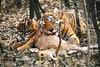 Hora de comer (Nicolás Merino) Tags: india ranthambhore tiger safari nature wildlife canon 1d markiv f4 200400 canonistas