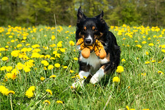 Yatzy (Flemming Andersen) Tags: animal outdoor spring yellow bordercolli dandelions dog flower nature pet