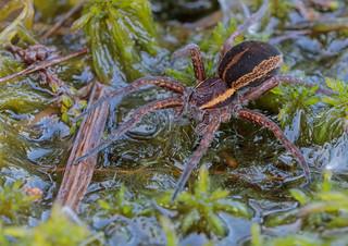 First big Raft Spider