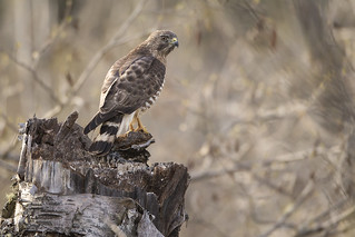 Ferndale Broadwing Hawk