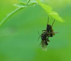 """Empididae - """"sex & food""""  or """"artistic encounter"""" (Phil Arachno) Tags: mainz empididae insecta arthropoda germany rheinlandpfalz diptera"""