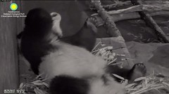 2017_05-25d (gkoo19681) Tags: beibei fuzzywuzzy chubbycubby feetsies sleepyhead adorable mirroredimage toocute bigbelly contentment comfy ccncby nationalzoo