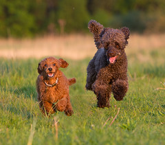 Anton und Jorinde (Simone Schloen ☞ www.bilderimkopf.de) Tags: pudel jorinde kleinpudel red braun brown rot niedlich cute süs simoneschloen