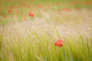 El trigo y la amapola